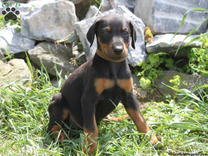 Bruno Doberman Pinscher Puppy For Sale In Lancaster Pa