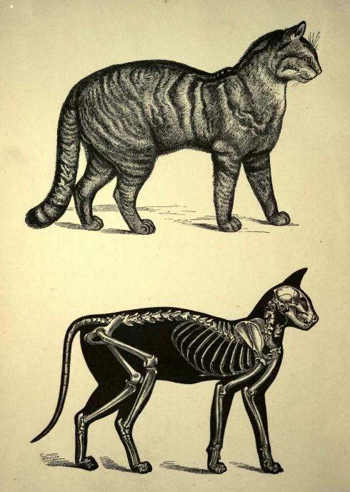 Anatomía del gato. | Flora y Fauna Exótica | Pinterest | Anatomía ...