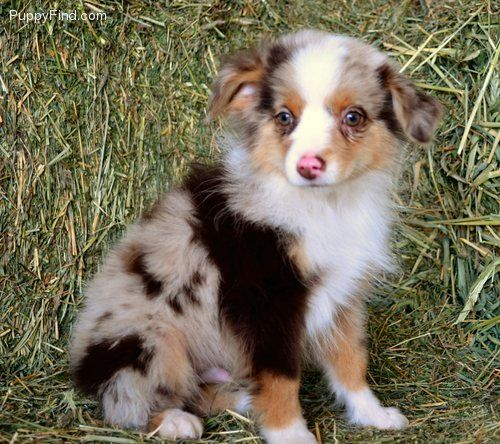 Toy Australian Shepherd Toy Australian Shepherd Australian Shepherd Border Collie Mix Puppies