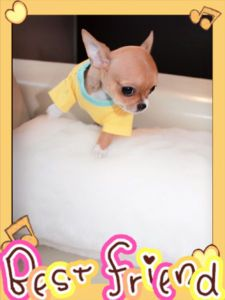 Tiny T Cup Chihuahua Pups Are Waiting For You Delta
