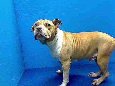 SAFE 4/9/13 Brooklyn Center  JADE - A0960719  MALE, BROWN / WHITE, PIT BULL MIX, 10 yrs ABANDON After 10 years of being a faithful family member, Jade was abandoned by her family. Betting that Jade has probably never been muzzled, she didn't like it very much :( Please share Jade..her world's been turned upside down and she needs a soft spot to land.  https://www.facebook.com/photo.php?fbid=591206080892275=a.172404072772480.42595.152876678058553=3