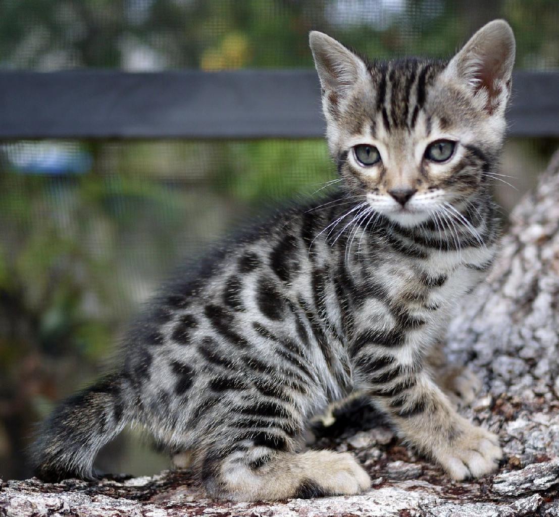 Kitty Bengal Cat Kitten Everyone Needs A Bengal More