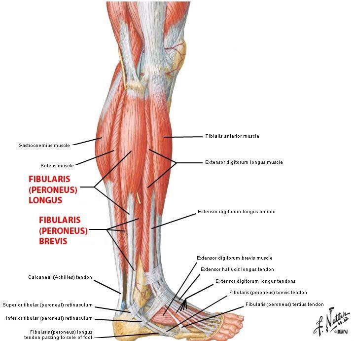 Peroneus Longus Google Search Anatomy Fun Pinterest Muscle