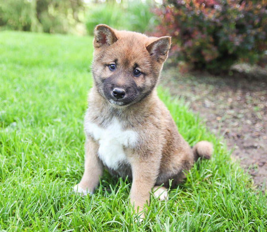 Snuggly ShibaInu Puppies, Lancaster puppies, Cute