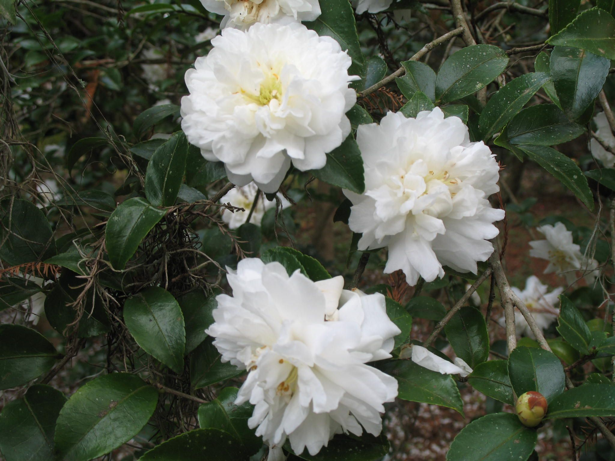 Camellia Sasanqua Snow On The Mountain Camellia Sasanqua Snow On The Mountain Small Shrub Snow Mountain Camellia White Camellia