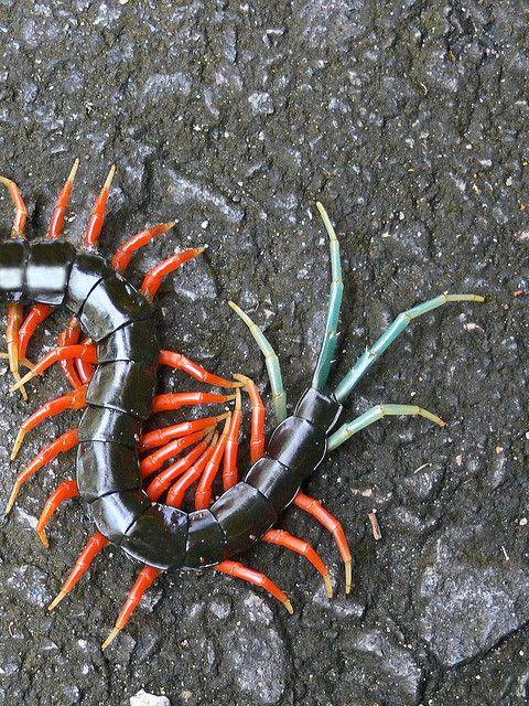 Malaysian Jewel Centipede Scolopendra Subpinipes Scolopendridae