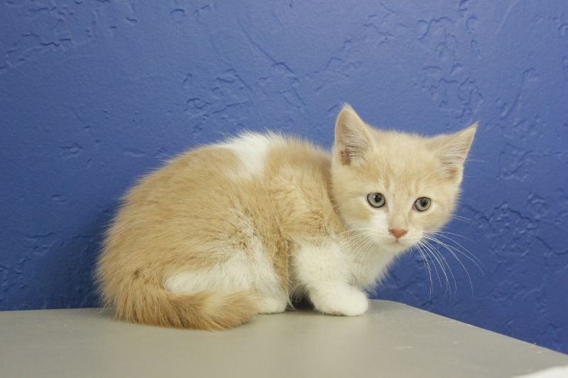 Jameson Cream Bicolor Munchkin Cat Kitten From Www Ragdollkitten Us Munchkincat Munchkin Cat Ragdoll Kittens For Sale Cats And Kittens