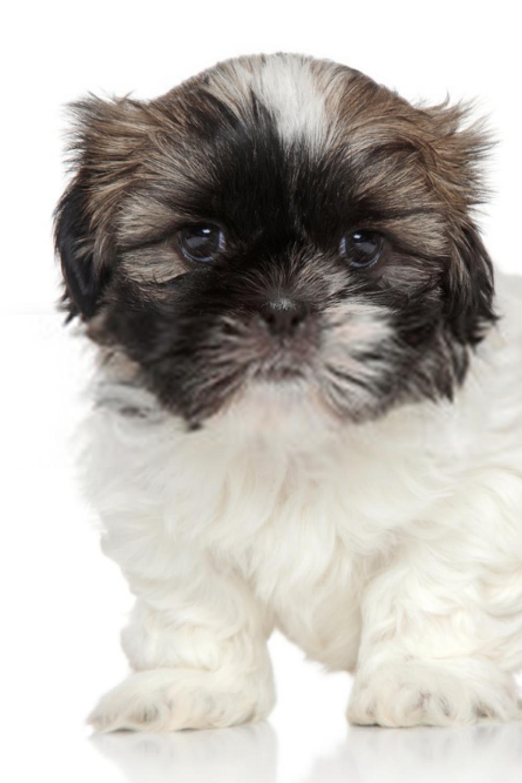 Baby Shih Tzu Puppies Baby Shih Tzu Shih Tzu Puppy Shih Tzu Puppy Baby Baby Shih Tzu