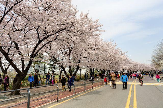 Where When To See Cherry Blossoms In Korea 2016 Cidade Urbanismo Lugares