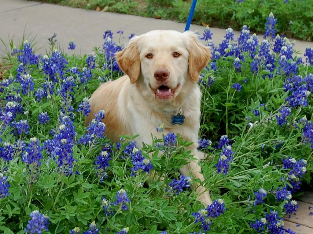 Pin by Golden Retriever Rescue of North Texas (GRRNT) on