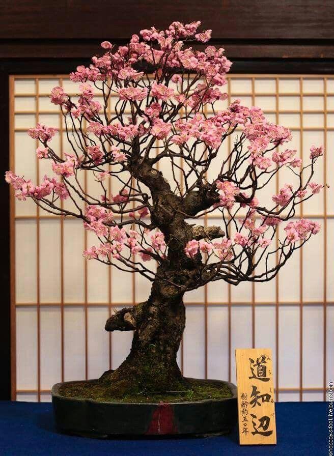 Bonsai Japanese Bonsai Cherry Blossom Bonsai Tree Bonsai Art