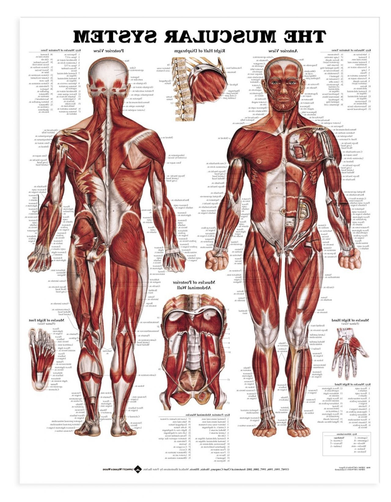 Muscular System Labeled | Anatomy and Physiology | Pinterest ...