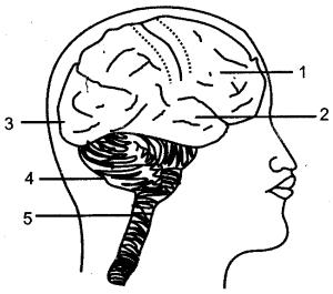 nervous-system-sense-organs-icse-solutions-class-10