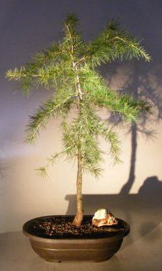 Deodar Cedar Bonsa Tree (cedrus deodara)