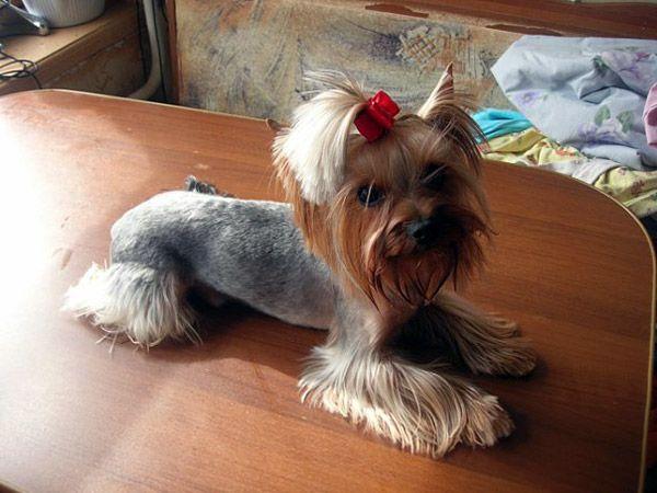 Yorkie Hair Cuts On Pinterest Yorkie Yorkshire Terrier