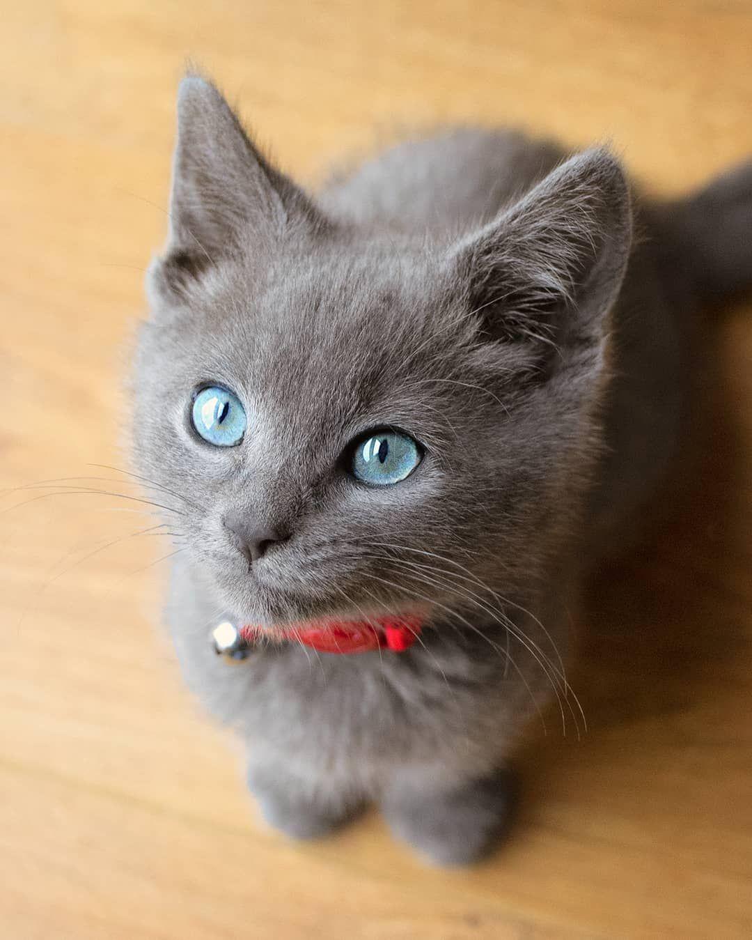 Stunning Russian Blue Kitten Music Indieartist Chicago Russian Blue Kitten Kittens Cutest Beautiful Cats