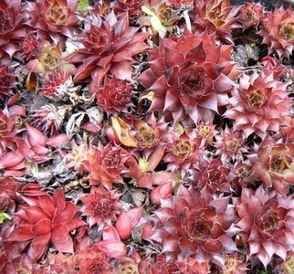 How To Take Care Of Hens And Chicks Plants In The Winter Hens