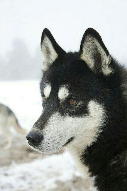 Black Siberian Husky Siberian Husky Dog Malamute Husky Alaskan