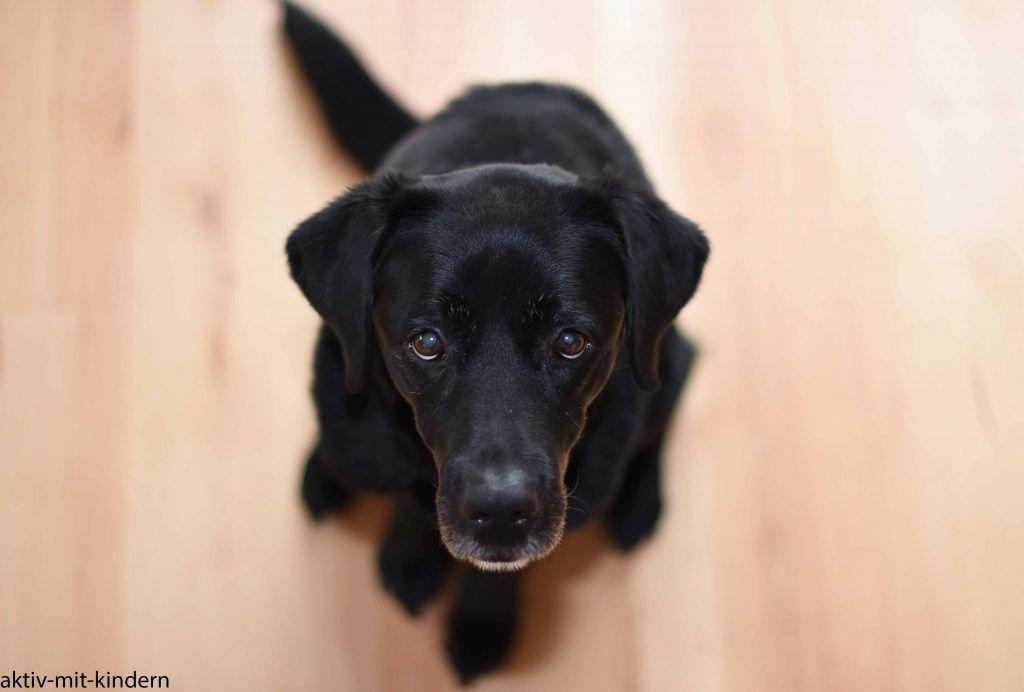Ein Labrador Aus Arbeitslinie Der Perfekte Familienhund
