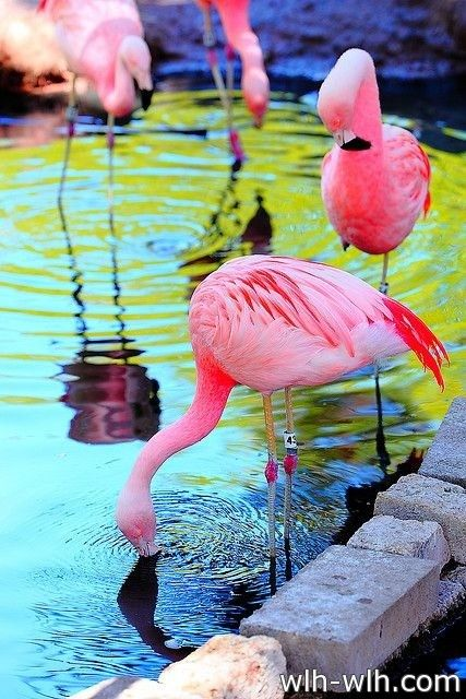 طيور Birds صحيفة رمز السلام Beautiful Birds Flamingo Animals Beautiful