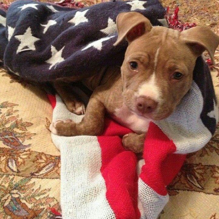 Pin By Melissa Girard On Pretty Pittie Princess Pitbull Puppies Dog Love Pittie Puppies