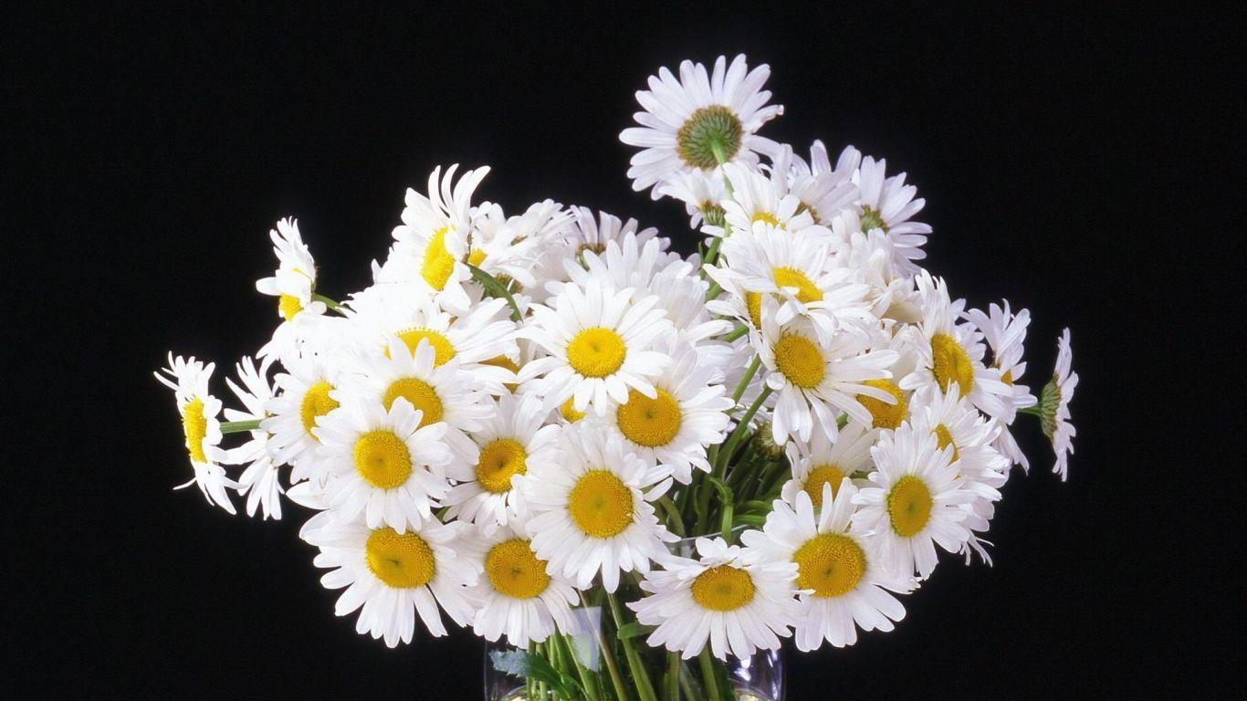 1366x768 Wallpaper daisy, flowers, bouquet, vase, black background ...