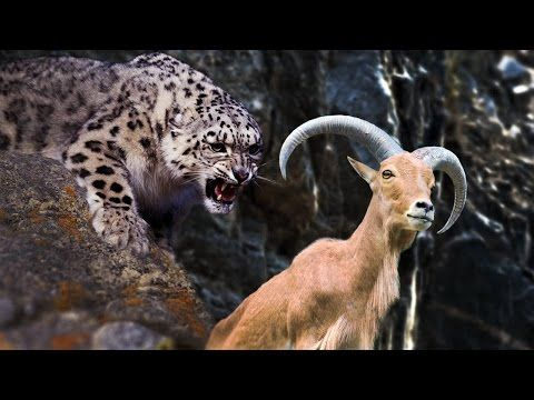87448742a04 Snow Leopard Attack in Himalayas (First Time Ever Filmed) - YouTube ...
