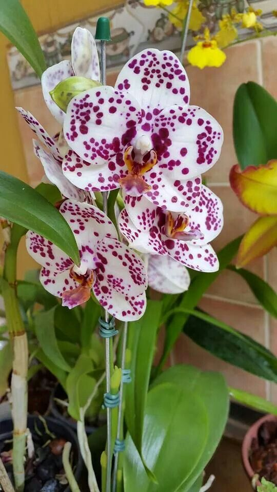 Orquideas Idee Cadeau Cute Gift Idea Http Gfbijouxfleurs Tumblr Com Archive Orchid Flower Unusual Flowers Beautiful Flowers