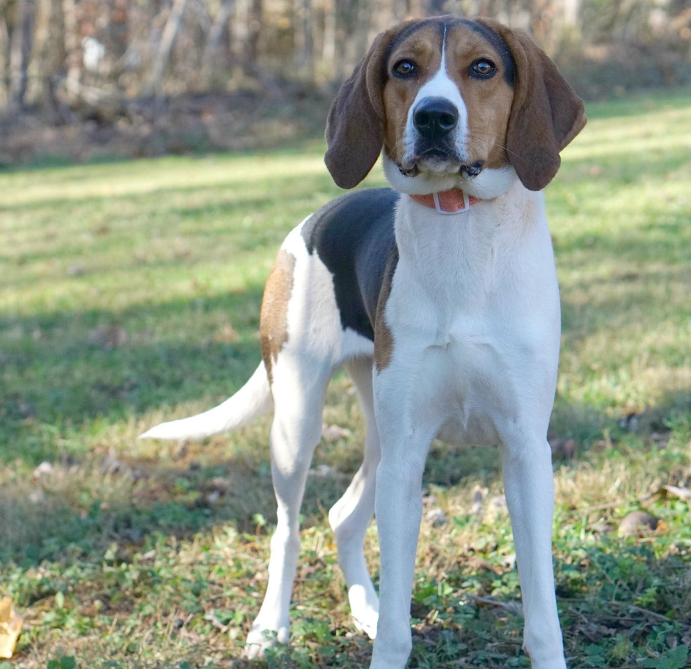 Treeing Walker Coonhound dog for Adoption in Rocky Mount