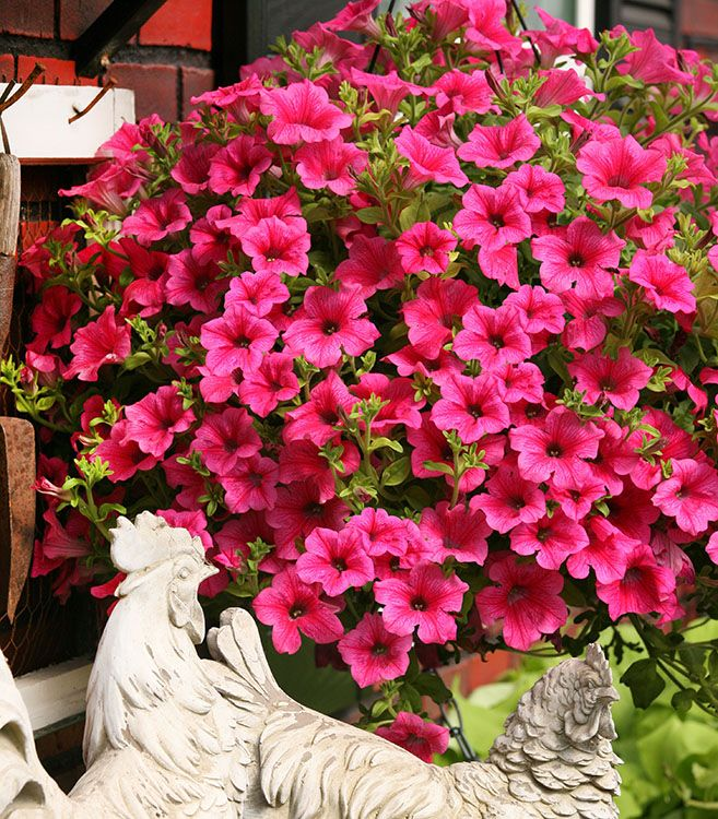Surfinia Trailing Rose Veined Petunia Is A Showstopper With Its