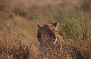 The king of the jungle is in danger and it isn't just from poachers. But creative new methods are being developed to help manage conflicts between lions and people.  Two female lions at Serengeti National Park in Tanzania. Tanzania has a small fraction of lions in Africa. (Photo courtesy of Simona Galleti for Serengenti National Park via Wikimedia Commons).