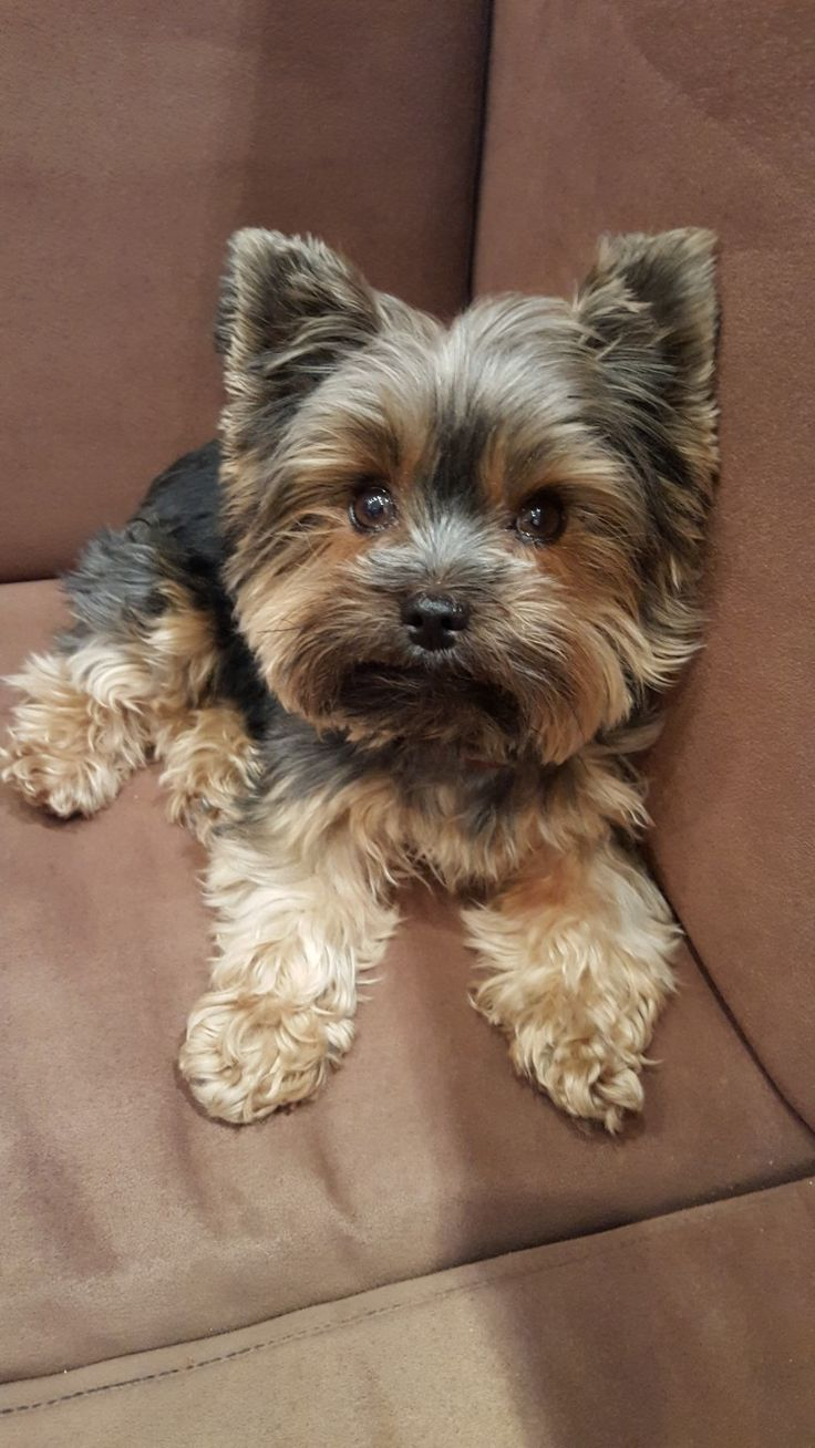 Photo of El cachorro de Alex, un niño: Eddy Se queda muy pequeño porque es un cachorro de taza de té …