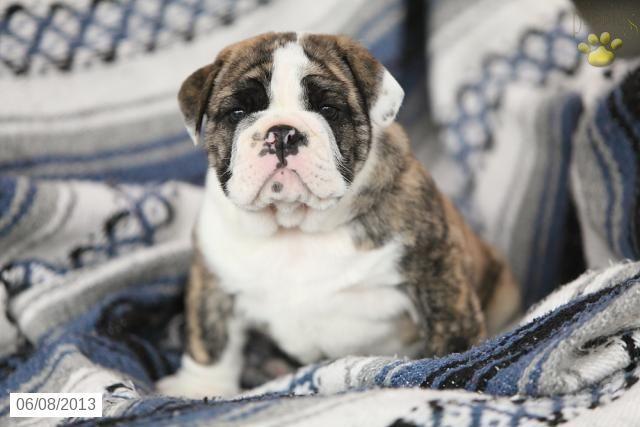 English Bulldog Puppy For Sale Bulldog Puppies For Sale Olde English Bulldog Puppies Puppies For Sale