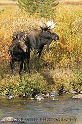 The Perfect Pair - Vertical - Moose