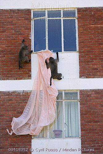 Baboons in South Africa playing with curtains after opening an apartment window.  Photo by Cyril Ruoso/Minden Pictures