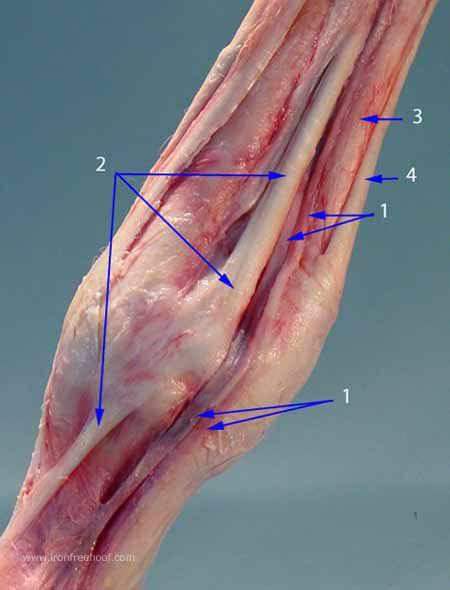 1.) Vein/Artery/Nerve (VAN) 2.) The Suspensory Ligament 3.) The Deep ...