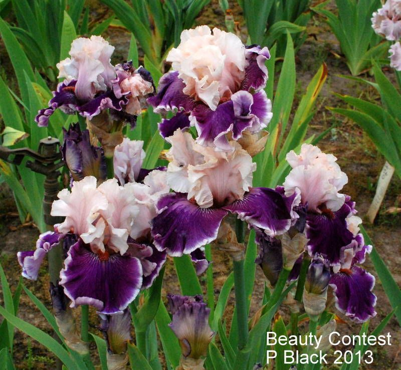 Irises forum: 2015 American Iris Society Convention, Portland, Oregon (All Things Plants)