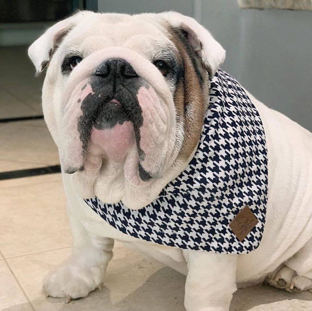 English Bulldog Infomation Pictures Appearance Facts With