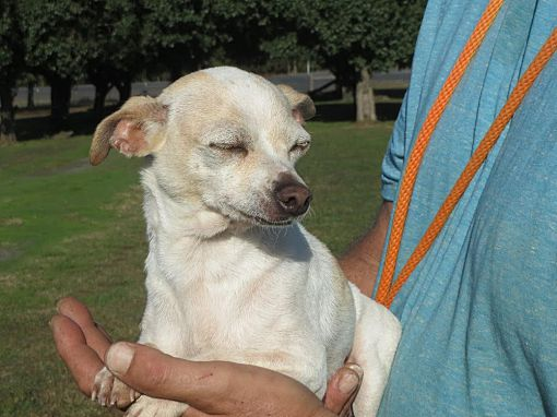 Parsippany Nj Chihuahua Meet Ivory A Pet For Adoption Pet Adoption Chihuahua Pets