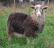 Puukontilan ahvenanmaan lampaat