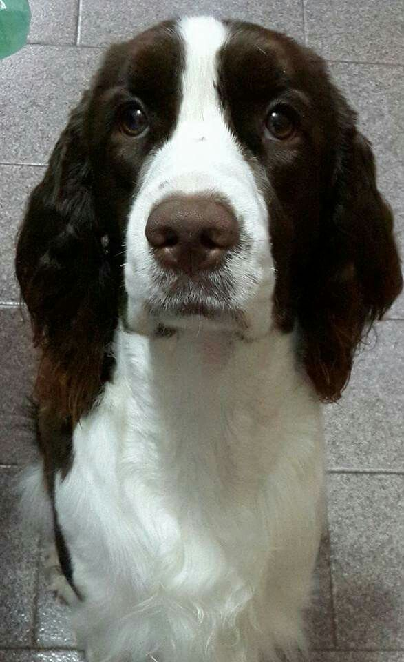 Pin By Susiemac On The Best Dog Breed Ever My Babies Springer Spaniel Spaniel Springer Dog