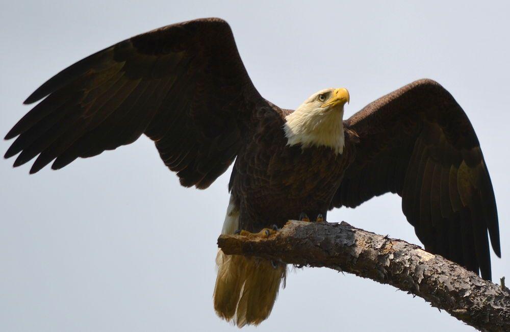 wing spread eagle 554 by jetskibrian