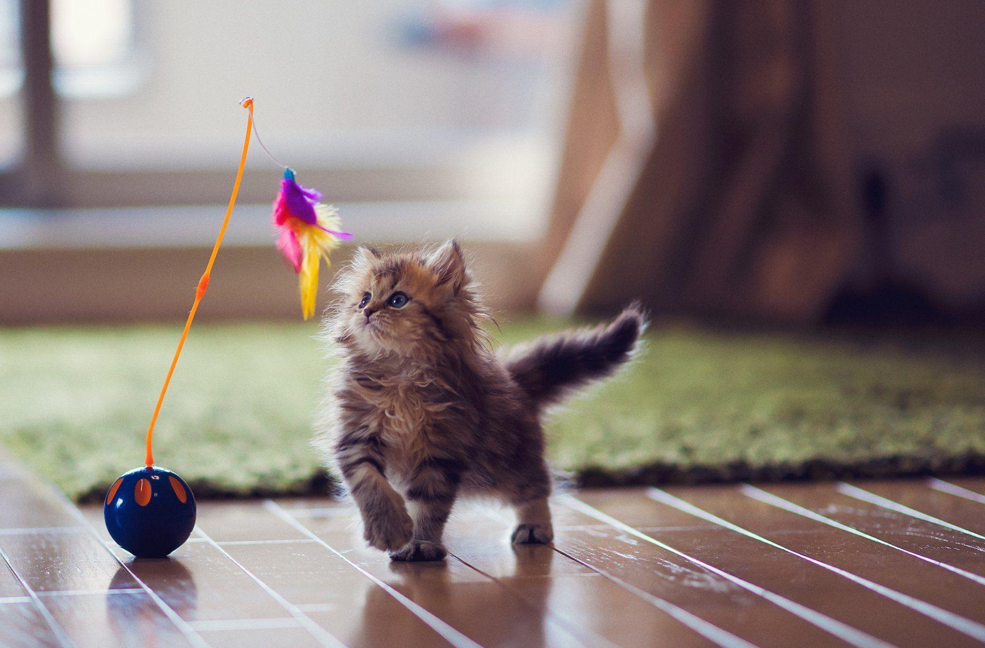 Kitten Cat Daisy Ben Torode Toys Feathers Flooring Carpet Hd Wallpaper Cat Exercise Best Interactive Cat Toys Kittens Cutest