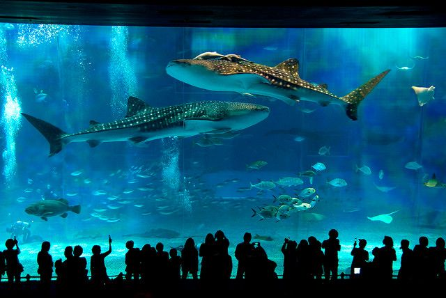 The Okinawa Aquarium... Another thing to see in Japan :)