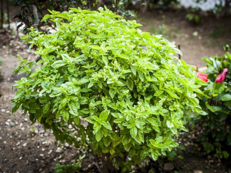 Multipliez votre plant de basilic de supermarché Plante