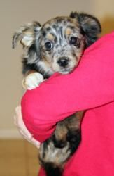 Bonnie is an adoptable Australian Shepherd Dog in Larchmont, NY. This adorable little Aussie mix girl is Bonnie - she weighs between 5-7 lbs and is around 10 weeks old. Her siblings are the 'B' puppie...