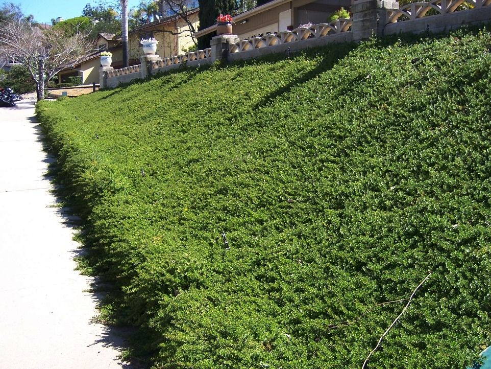This Fast Growing Groundcover Is Great For Sunny Slopes Each Plant Rapidly Grows Out To A Ground Cover Plants Steep Hillside Landscaping Hillside Landscaping