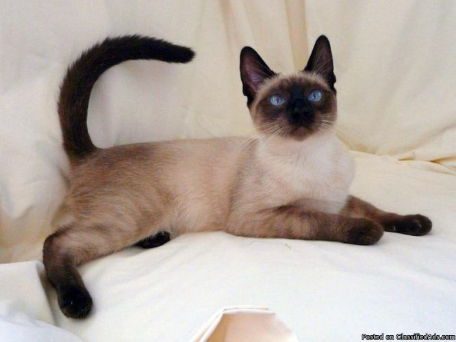 8 Month Old Male Seal Point Siamese Kitten Price 300 For Sale In Worcester Massachusetts Siamese Cats Facts Siamese Cats Siamese Kittens