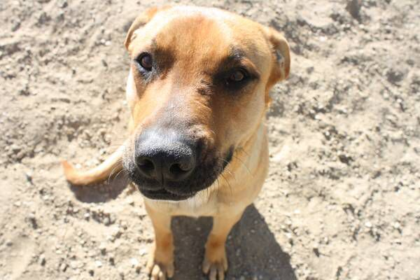 Rhodesian Ridgeback Mixed With Black Mouth Cur Black Mouth Cur