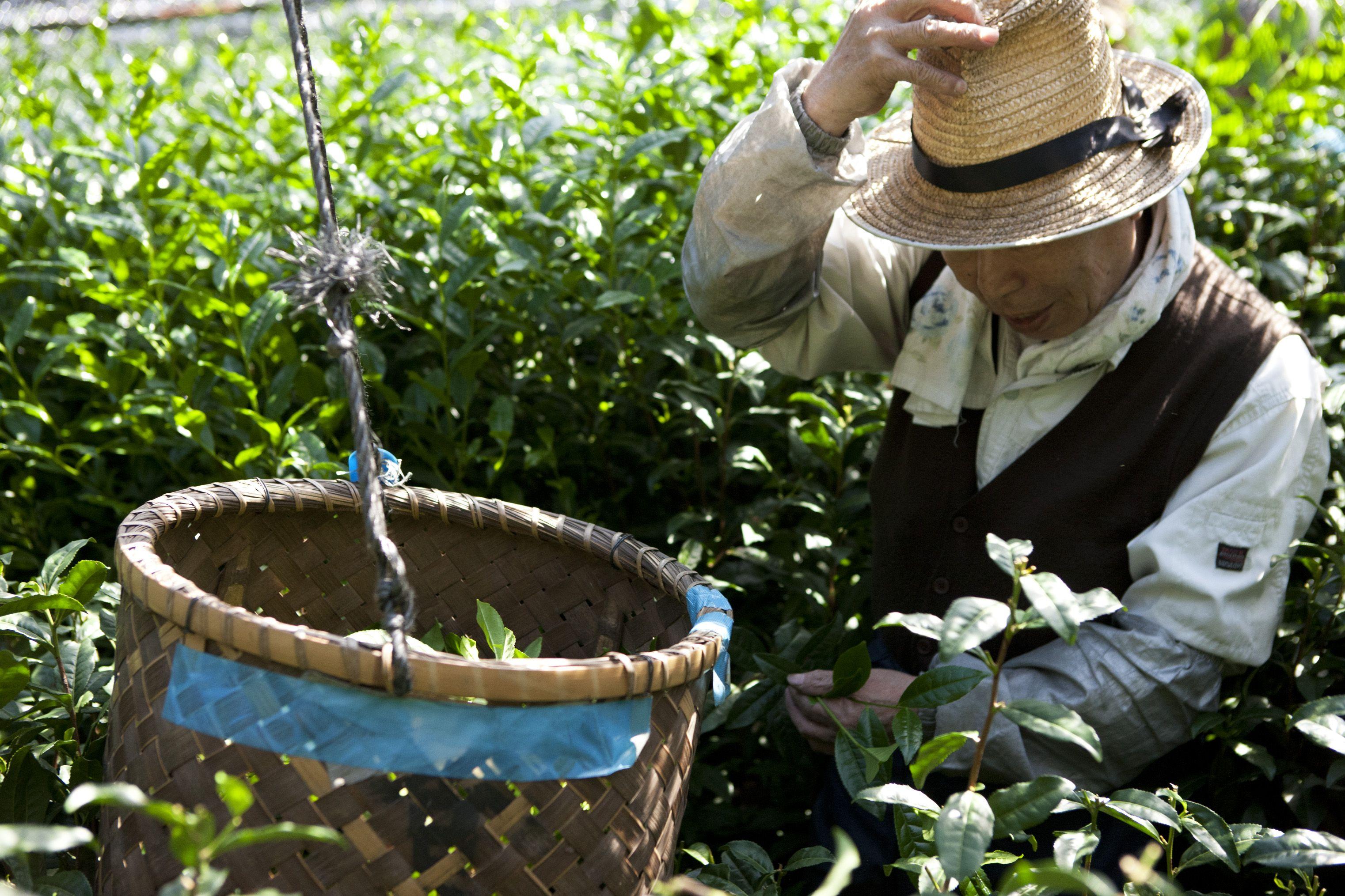 Pin στον πίνακα Tea Plantation